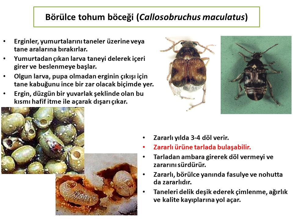 Börülce tohum böceği (Callosobruchus maculatus)