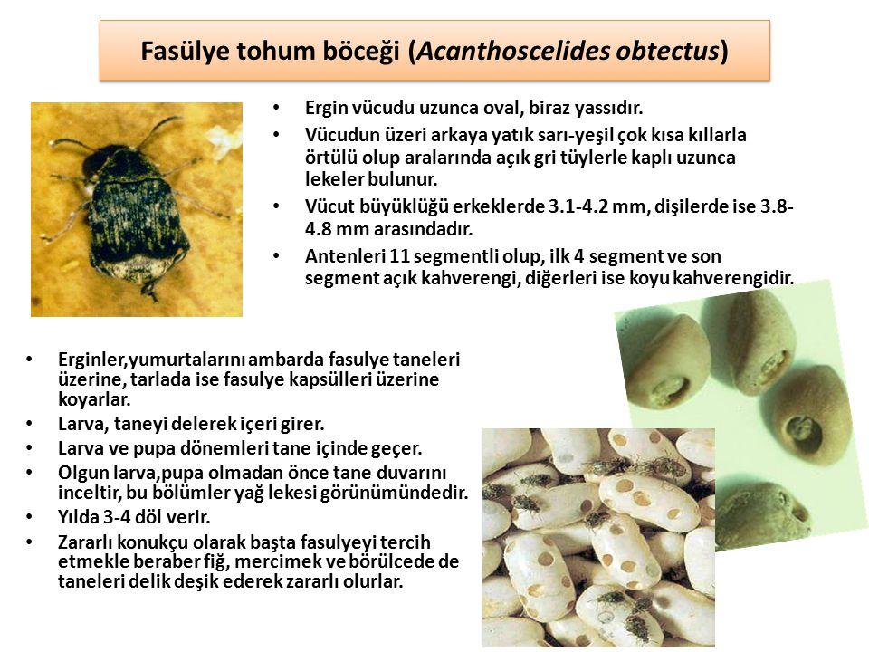 Fasülye tohum böceği (Acanthoscelides obtectus)