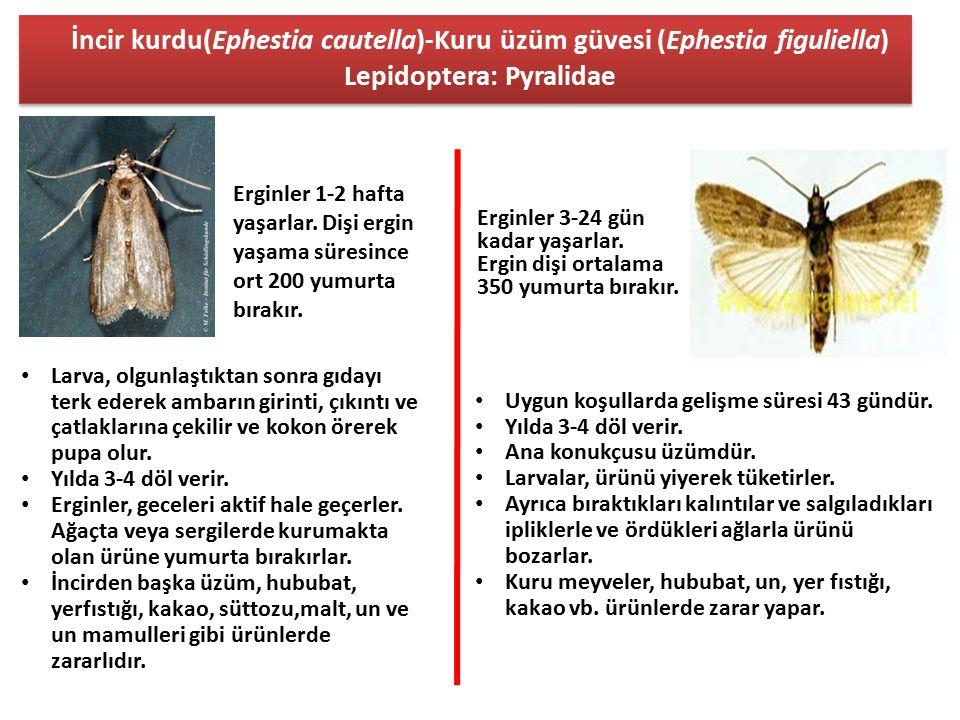 İncir kurdu(Ephestia cautella)-Kuru üzüm güvesi (Ephestia figuliella) Lepidoptera: Pyralidae
