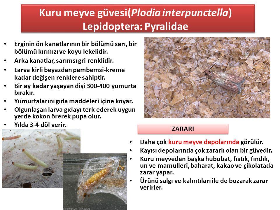 Kuru meyve güvesi(Plodia interpunctella) Lepidoptera: Pyralidae