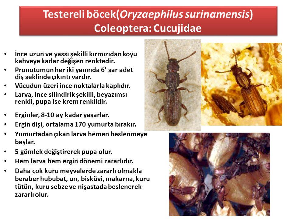 Testereli böcek(Oryzaephilus surinamensis) Coleoptera: Cucujidae
