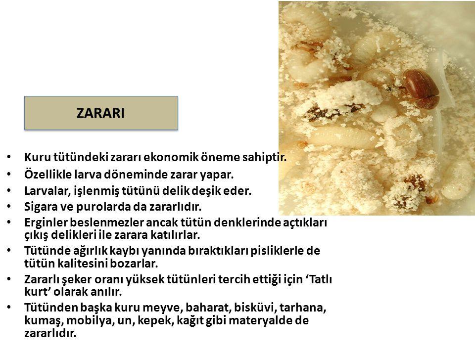 ZARARI Kuru tütündeki zararı ekonomik öneme sahiptir.