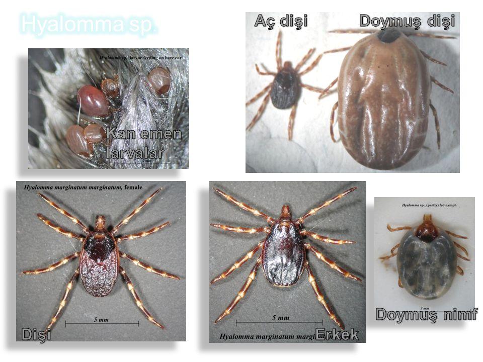 Hyalomma sp. Doymuş dişi Aç dişi Kan emen larvalar Doymuş nimf Dişi