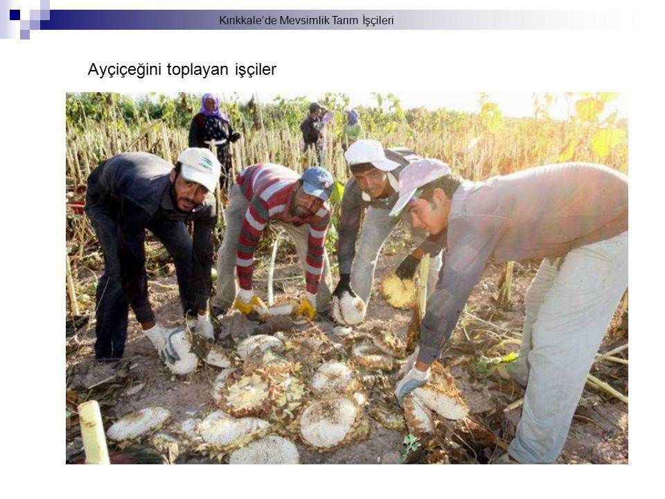 Ayçiçeğini toplayan işçiler