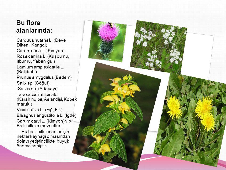 Bu flora alanlarında; Carduus nutans L. (Deve Dikeni, Kangal)
