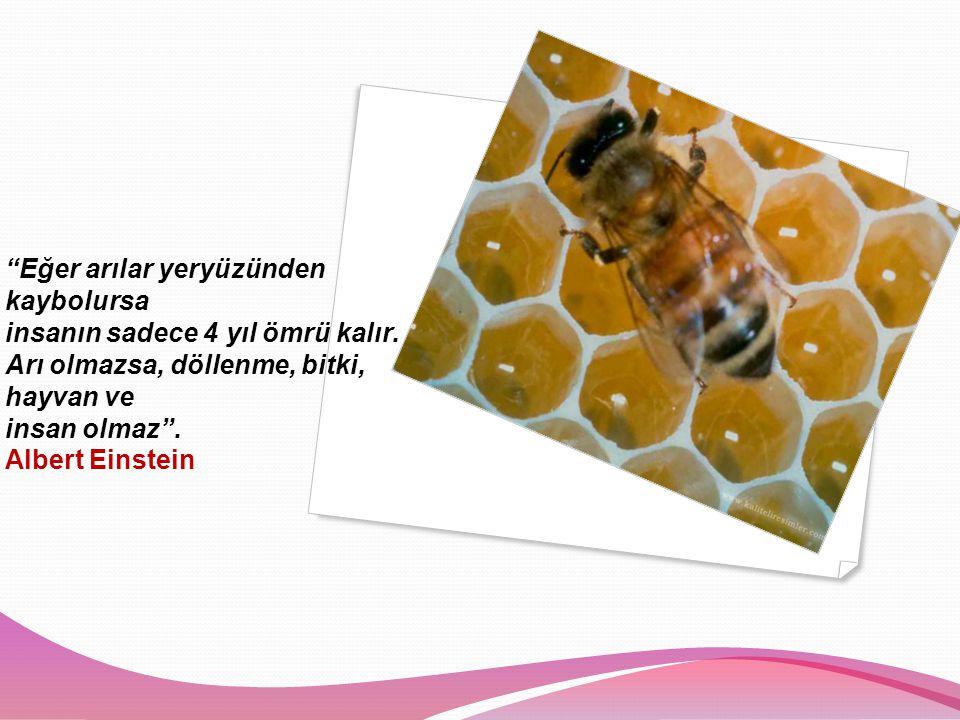 Eğer arılar yeryüzünden kaybolursa insanın sadece 4 yıl ömrü kalır