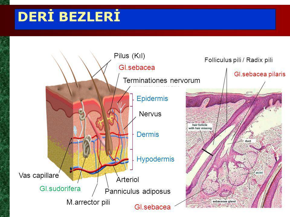 DERİ BEZLERİ Pilus (Kıl) Gl.sebacea Terminationes nervorum Epidermis