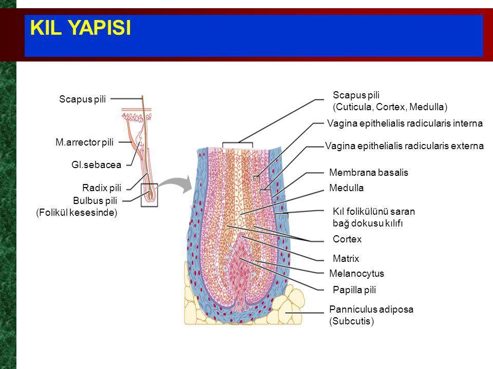 KIL YAPISI Scapus pili (Cuticula, Cortex, Medulla) Scapus pili