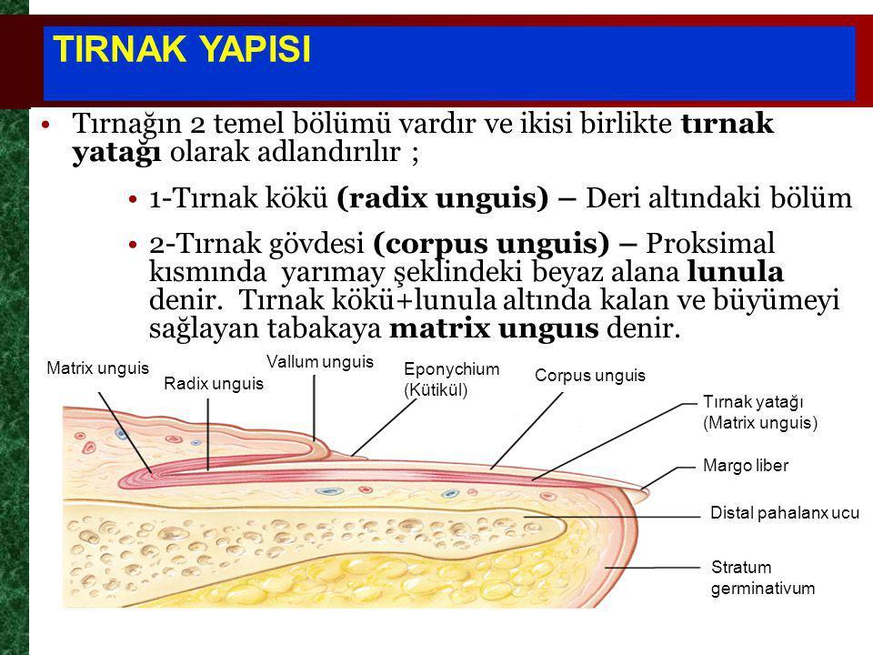 TIRNAK YAPISI Tırnağın 2 temel bölümü vardır ve ikisi birlikte tırnak yatağı olarak adlandırılır ;