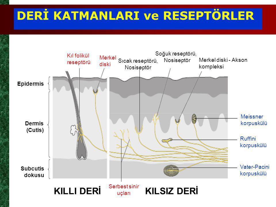 DERİ KATMANLARI ve RESEPTÖRLER