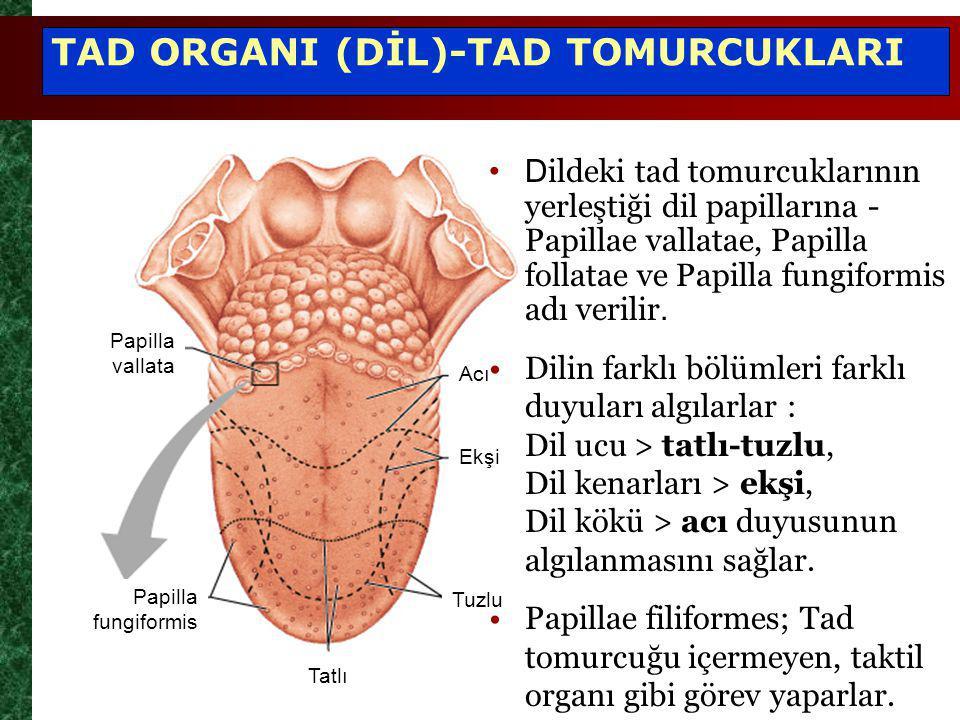TAD ORGANI (DİL)-TAD TOMURCUKLARI
