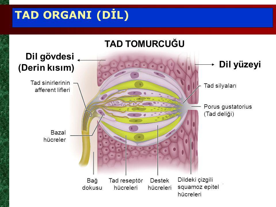 Tad reseptör hücreleri