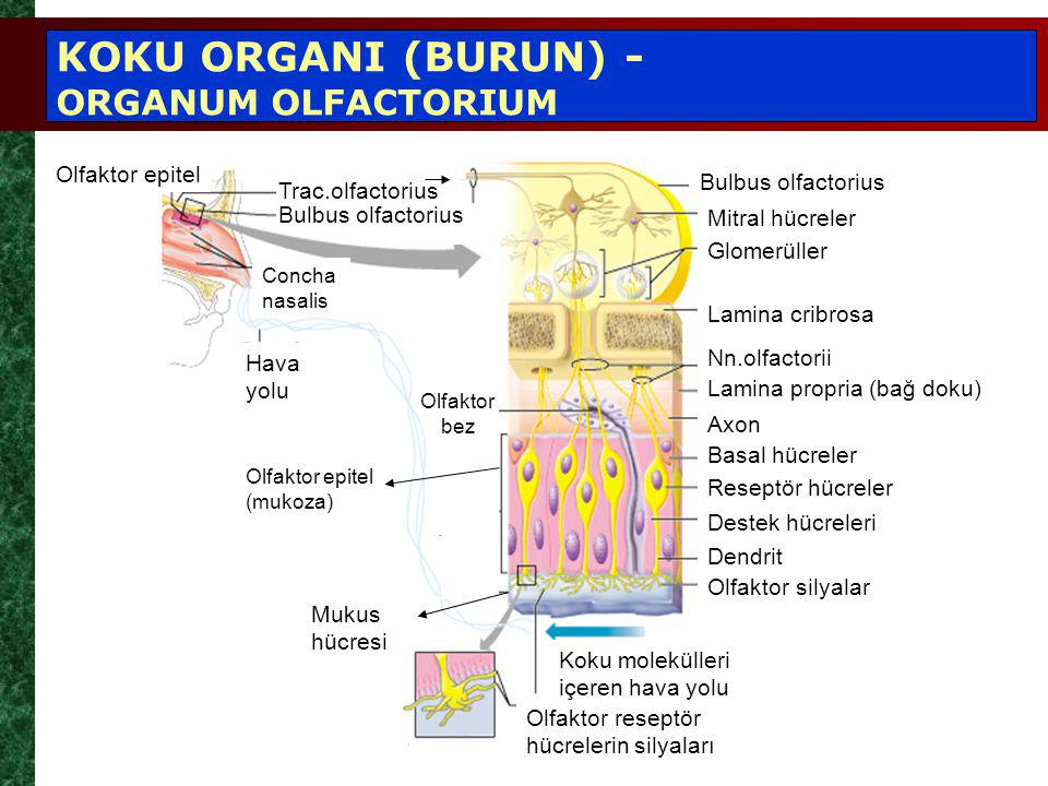 KOKU ORGANI (BURUN) - ORGANUM OLFACTORIUM