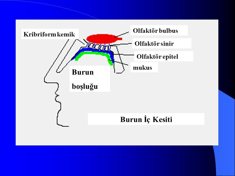 Burun boşluğu Burun İç Kesiti Olfaktör bulbus Kribriform kemik