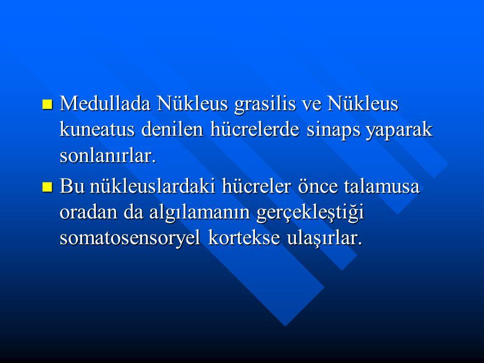 Medullada Nükleus grasilis ve Nükleus kuneatus denilen hücrelerde sinaps yaparak sonlanırlar.