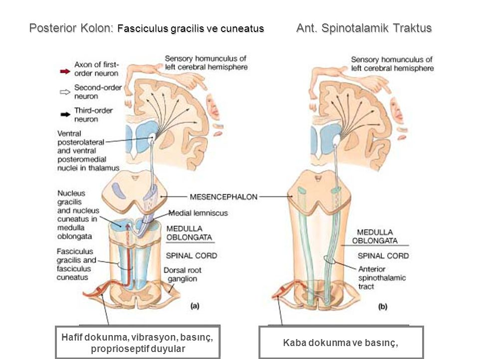 Hafif dokunma, vibrasyon, basınç, proprioseptif duyular