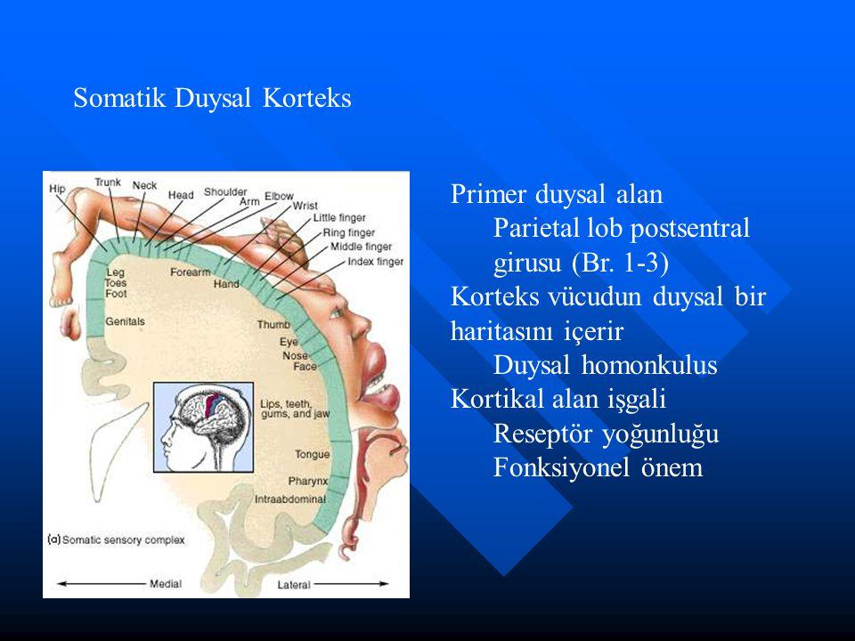 Somatik Duysal Korteks