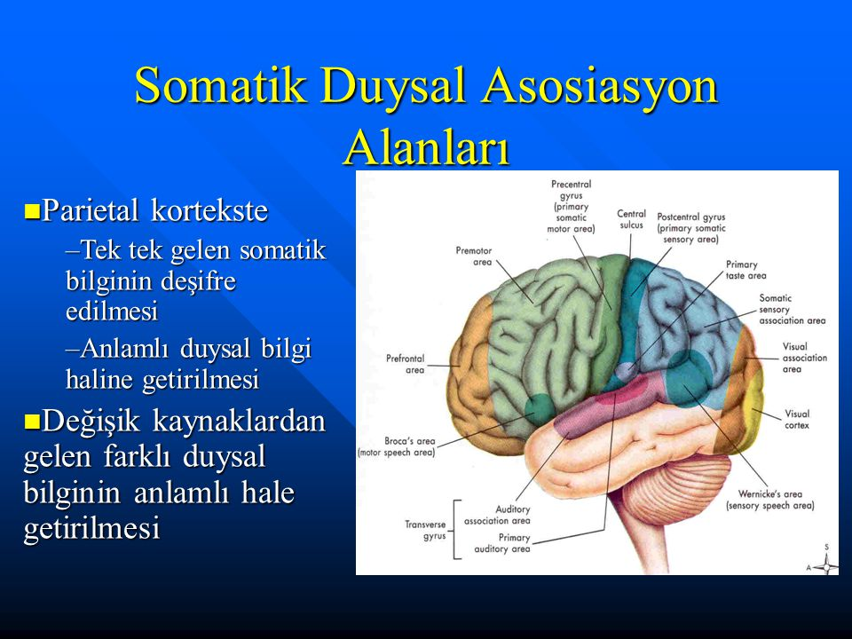 Somatik Duysal Asosiasyon Alanları