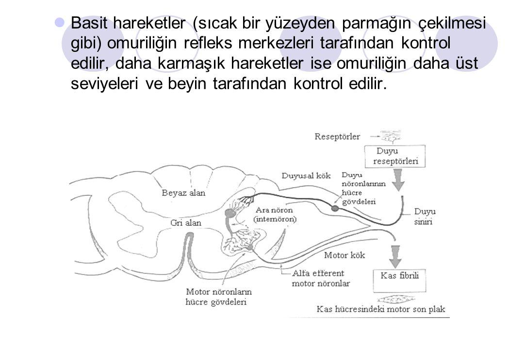 Basit hareketler (sıcak bir yüzeyden parmağın çekilmesi gibi) omuriliğin refleks merkezleri tarafından kontrol edilir, daha karmaşık hareketler ise omuriliğin daha üst seviyeleri ve beyin tarafından kontrol edilir.