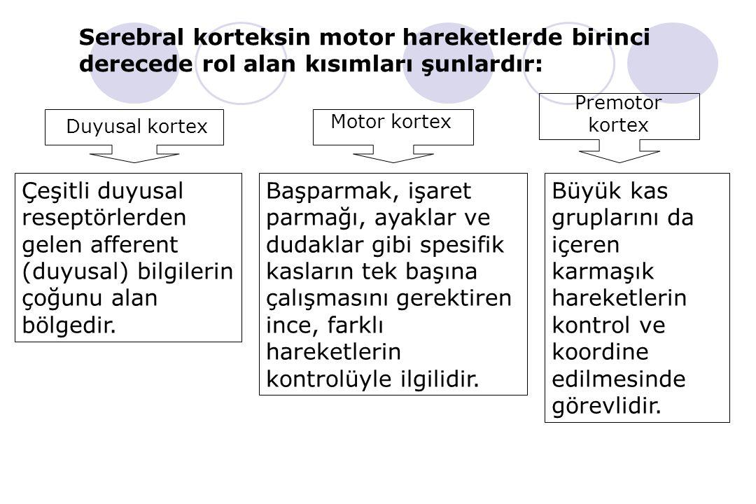 Serebral korteksin motor hareketlerde birinci derecede rol alan kısımları şunlardır:
