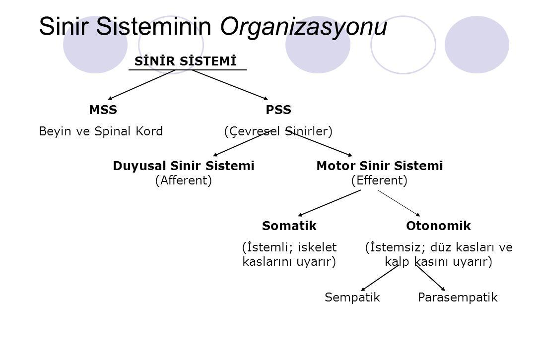 Sinir Sisteminin Organizasyonu