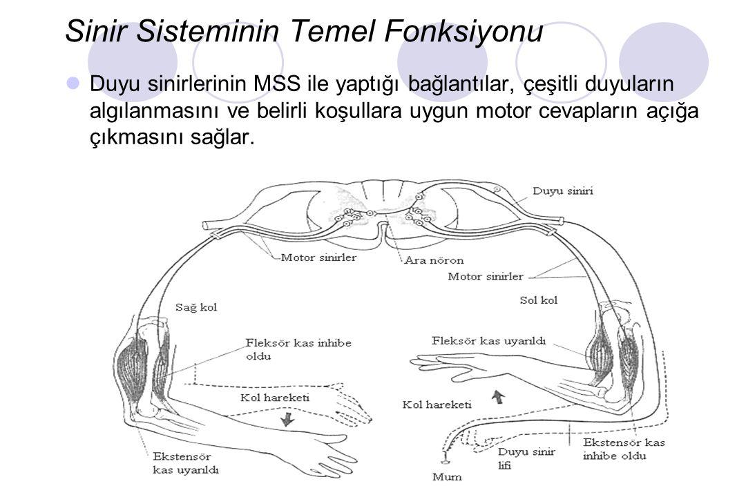 Sinir Sisteminin Temel Fonksiyonu