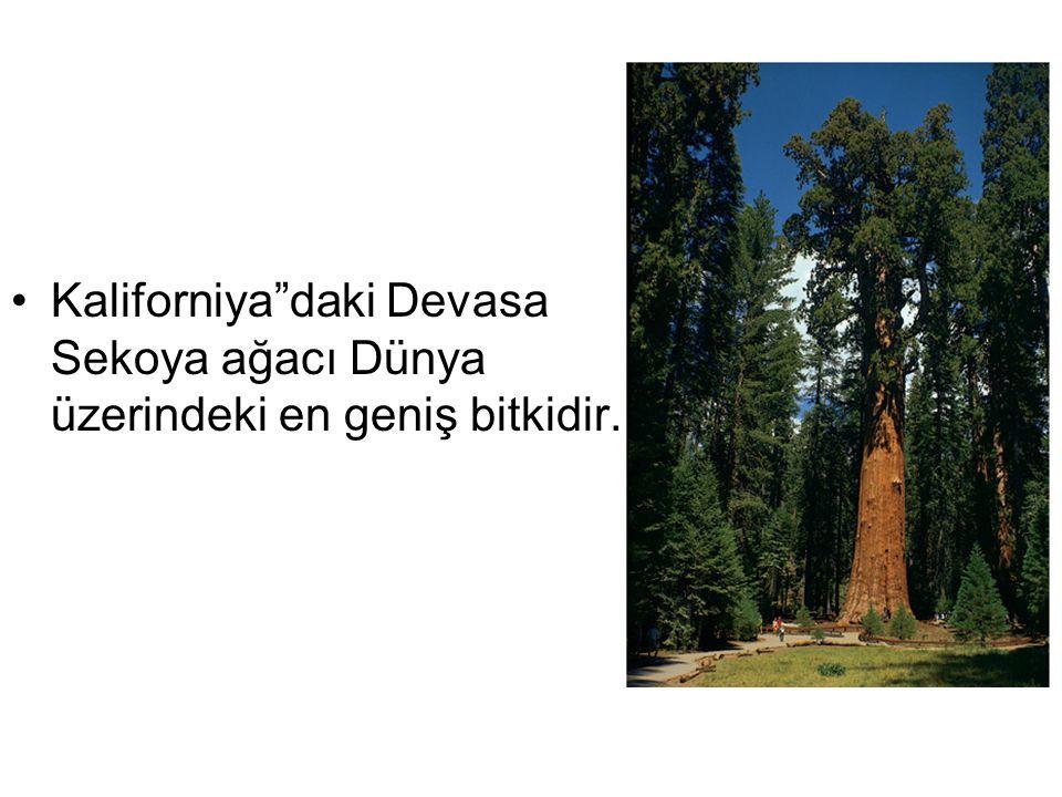 Kaliforniya daki Devasa Sekoya ağacı Dünya üzerindeki en geniş bitkidir.