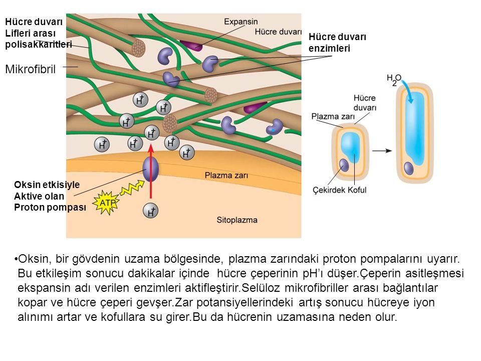 Hücre duvarı Lifleri arası. polisakkaritleri. Hücre duvarı. enzimleri. Mikrofibril. Oksin etkisiyle.