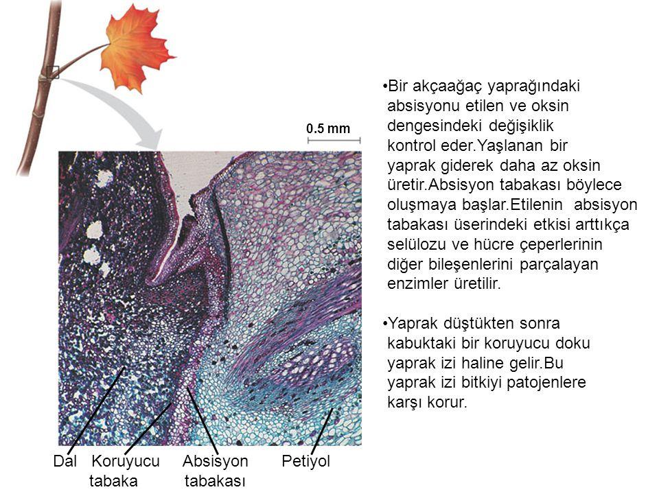 Bir akçaağaç yaprağındaki absisyonu etilen ve oksin