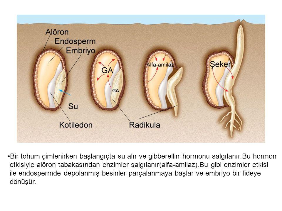 GA Bir tohum çimlenirken başlangıçta su alır ve gibberellin hormonu salgılanır.Bu hormon.