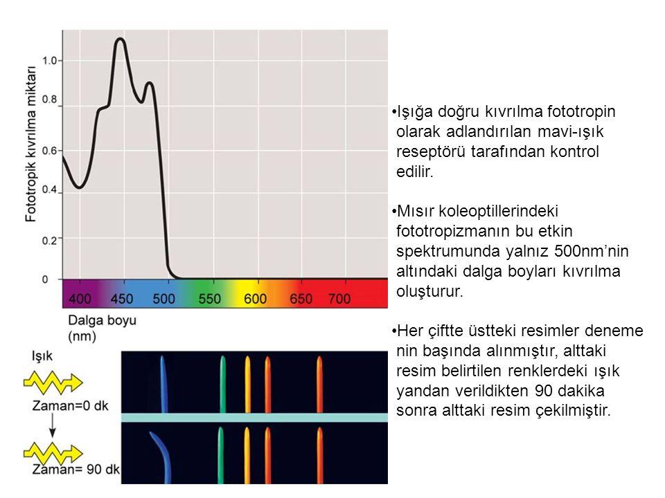 Işığa doğru kıvrılma fototropin