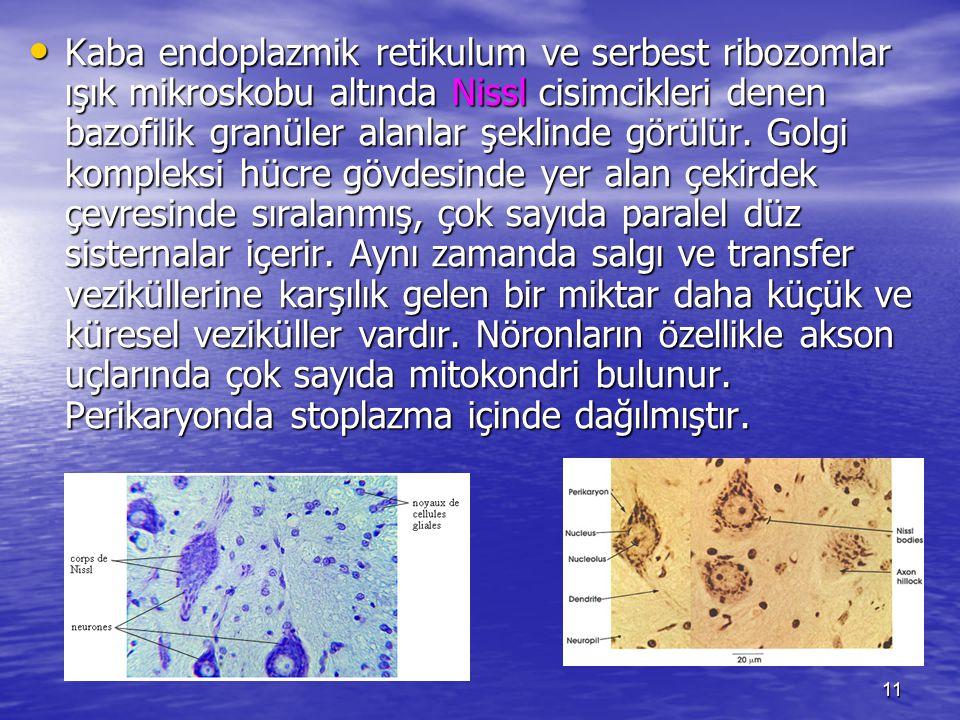 Kaba endoplazmik retikulum ve serbest ribozomlar ışık mikroskobu altında Nissl cisimcikleri denen bazofilik granüler alanlar şeklinde görülür.