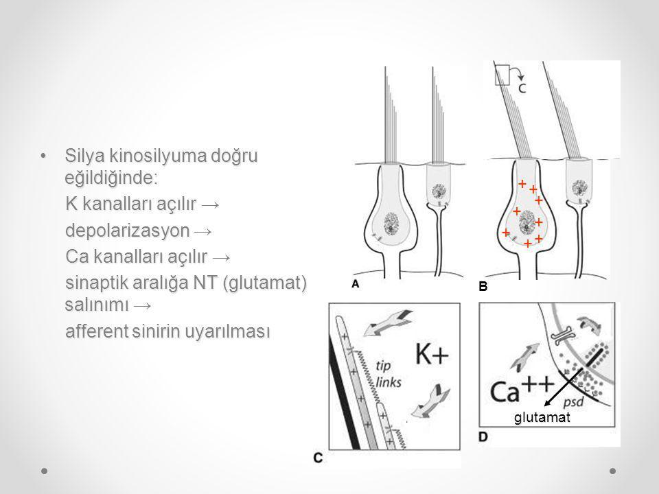 Silya kinosilyuma doğru eğildiğinde: K kanalları açılır →