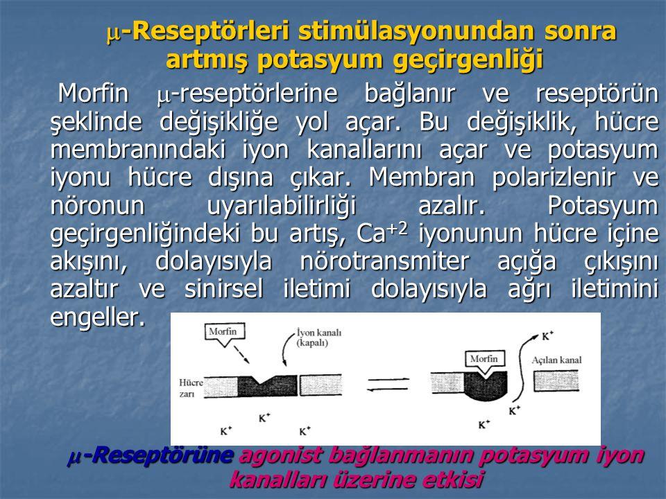 -Reseptörleri stimülasyonundan sonra artmış potasyum geçirgenliği