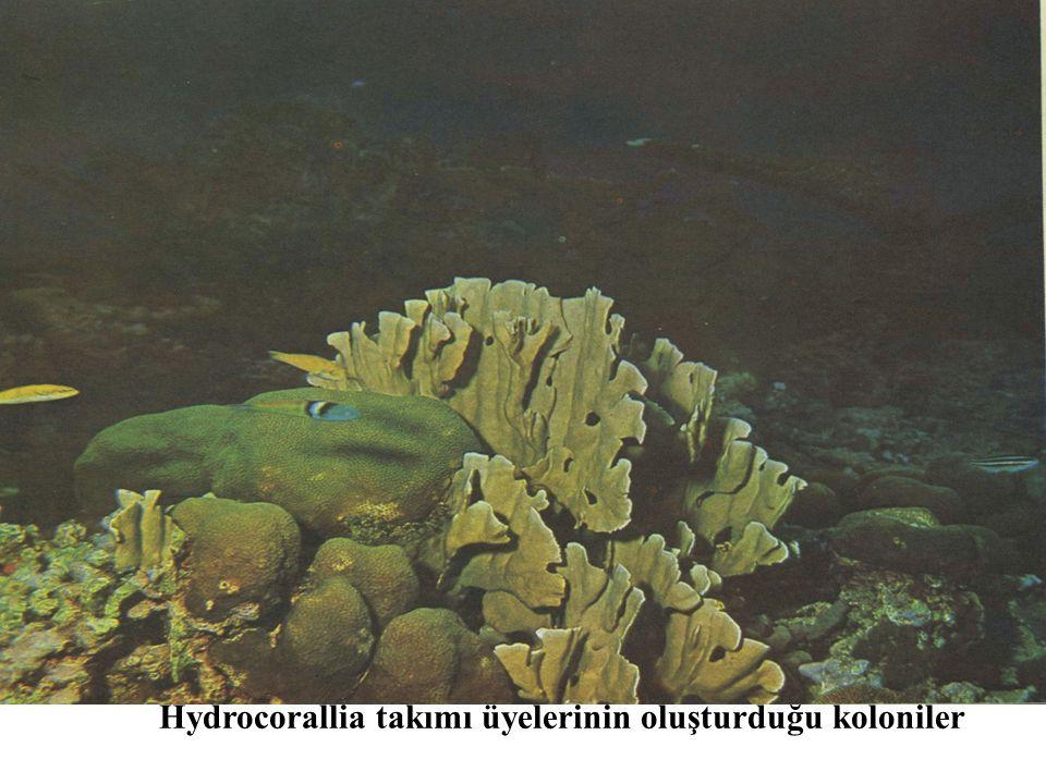 Hydrocorallia takımı üyelerinin oluşturduğu koloniler
