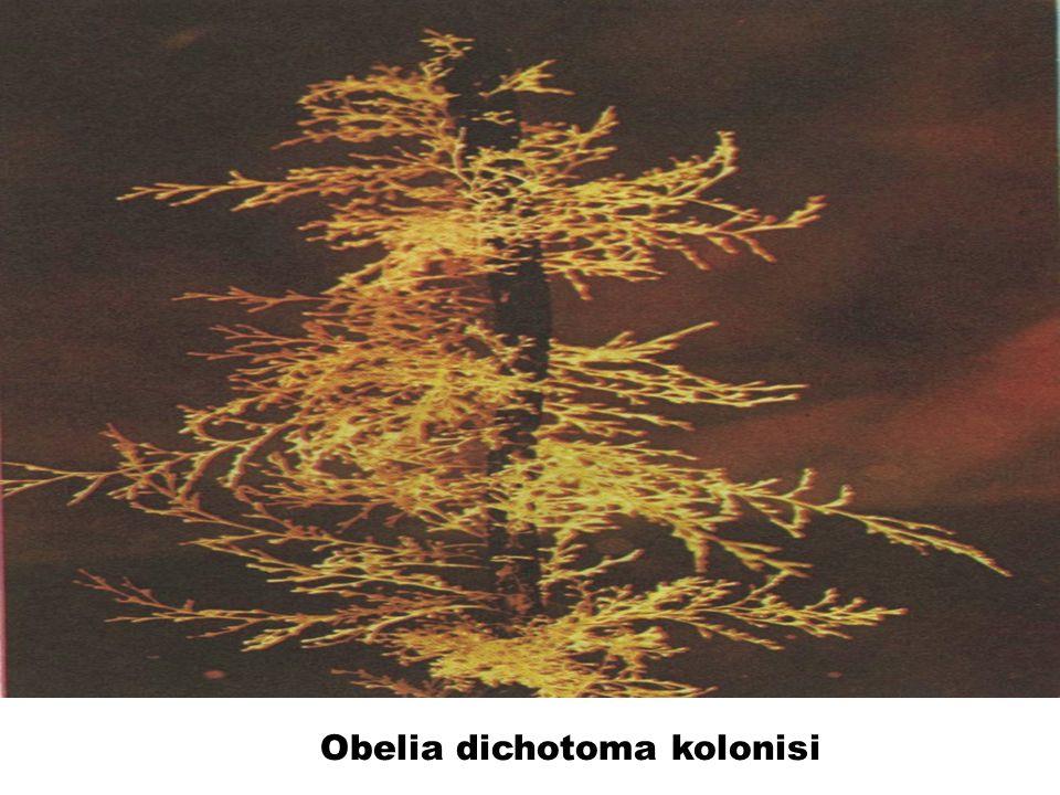 Obelia dichotoma kolonisi