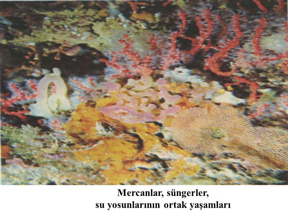 su yosunlarının ortak yaşamları