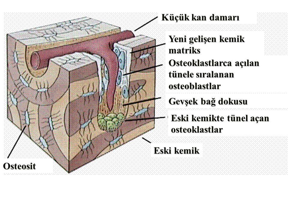 Küçük kan damarı Yeni gelişen kemik. matriks. Osteoklastlarca açılan tünele sıralanan osteoblastlar.
