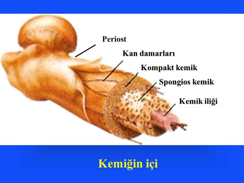Kemiğin içi Periost Kan damarları Kompakt kemik Spongios kemik