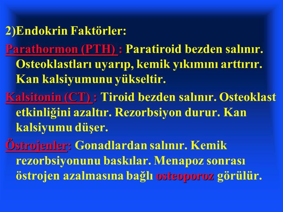 2)Endokrin Faktörler: Parathormon (PTH) : Paratiroid bezden salınır. Osteoklastları uyarıp, kemik yıkımını arttırır. Kan kalsiyumunu yükseltir.