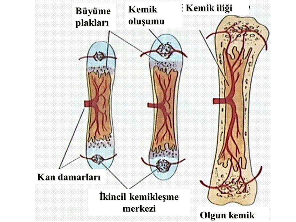 Kemik oluşumu Kemik iliği Büyüme plakları Kan damarları İkincil kemikleşme merkezi Olgun kemik