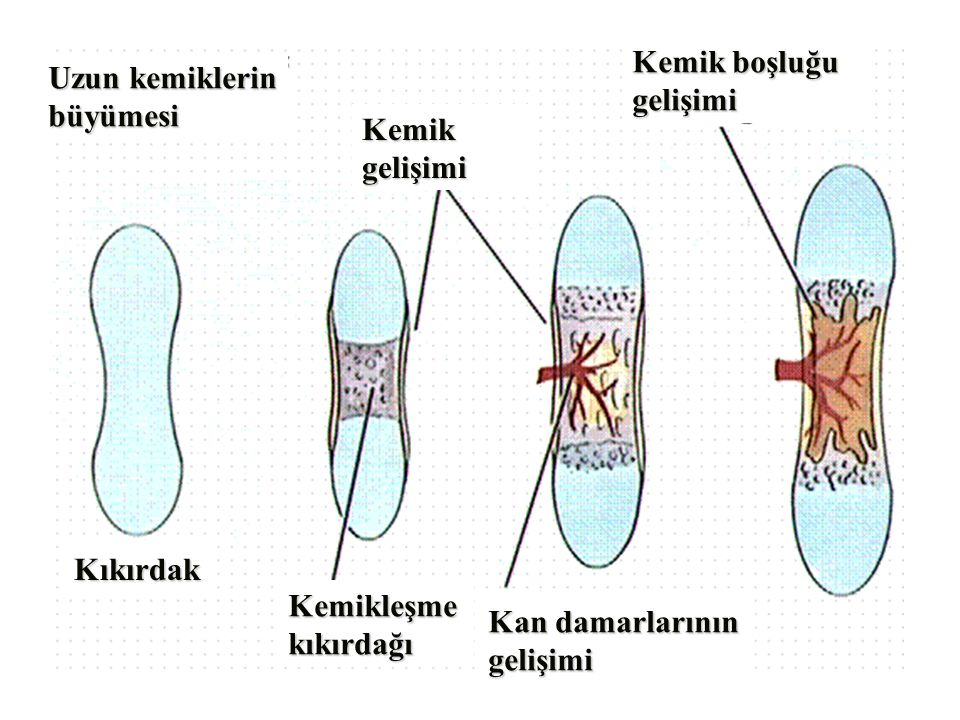 Kemik boşluğu gelişimi. Uzun kemiklerin. büyümesi. Kemik. gelişimi. Kıkırdak. Kemikleşme. kıkırdağı.