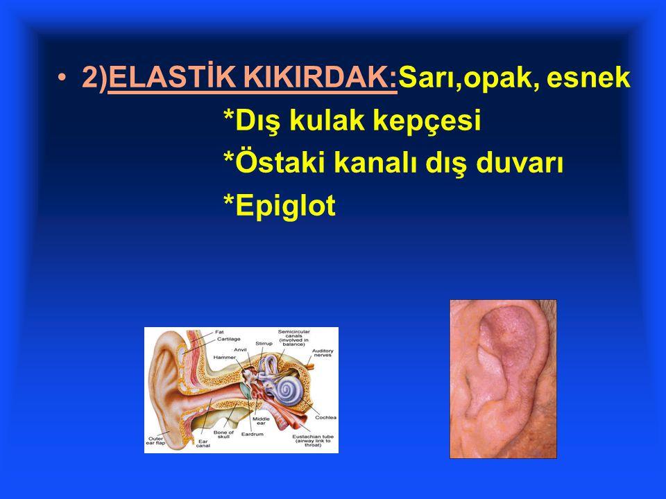 2)ELASTİK KIKIRDAK:Sarı,opak, esnek *Dış kulak kepçesi