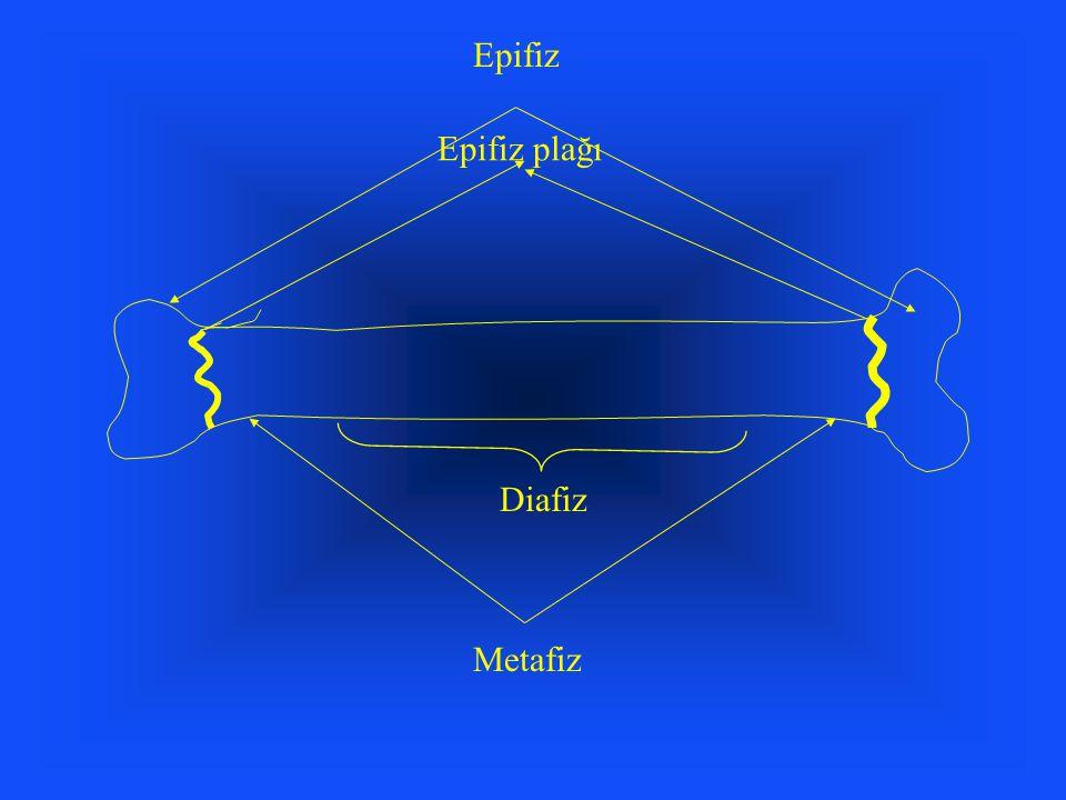 Epifiz Epifiz plağı Diafiz Metafiz
