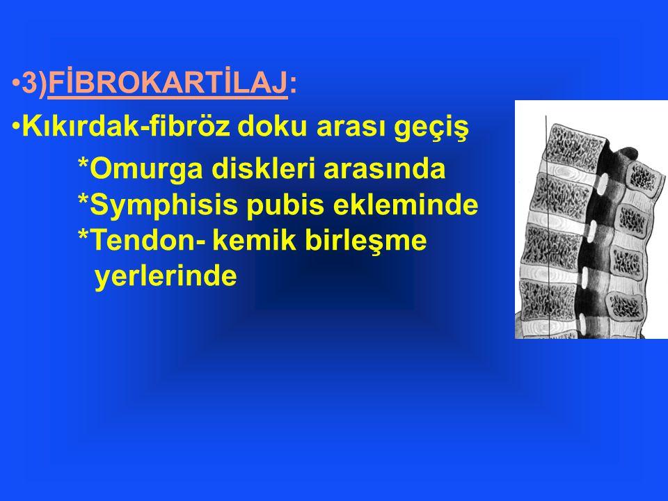 3)FİBROKARTİLAJ: Kıkırdak-fibröz doku arası geçiş.
