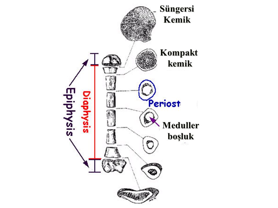 Süngersi Kemik Kompakt kemik Meduller boşluk