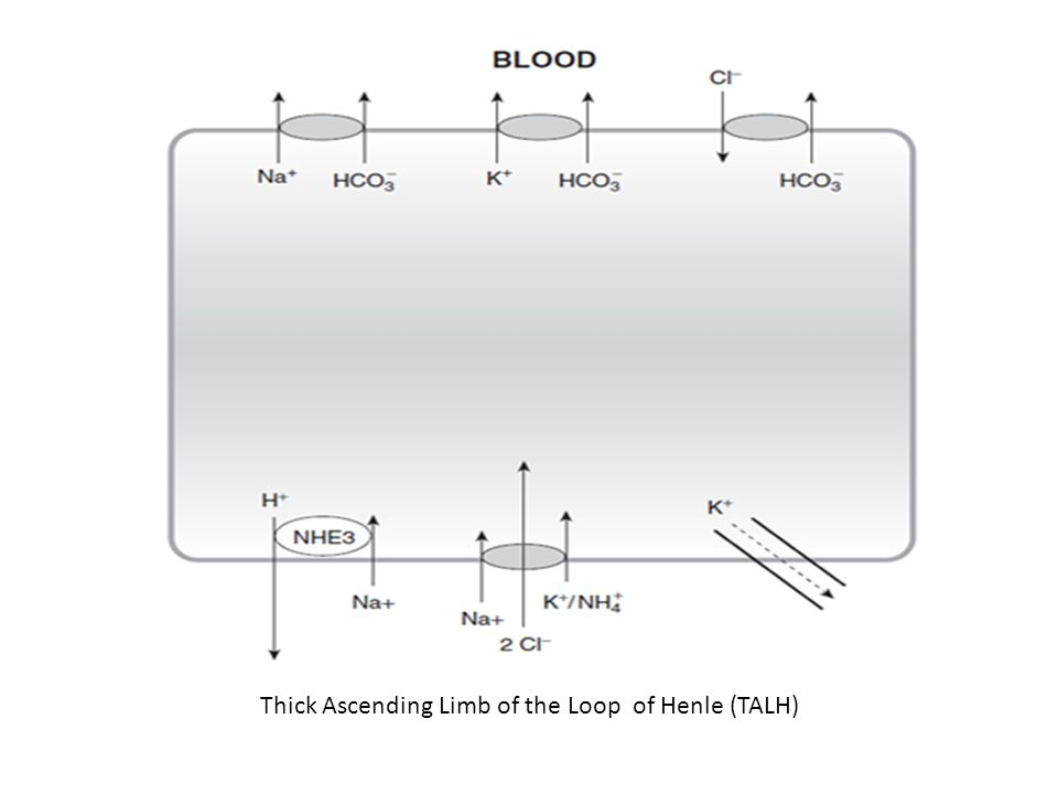 Thick Ascending Limb of the Loop of Henle (TALH)