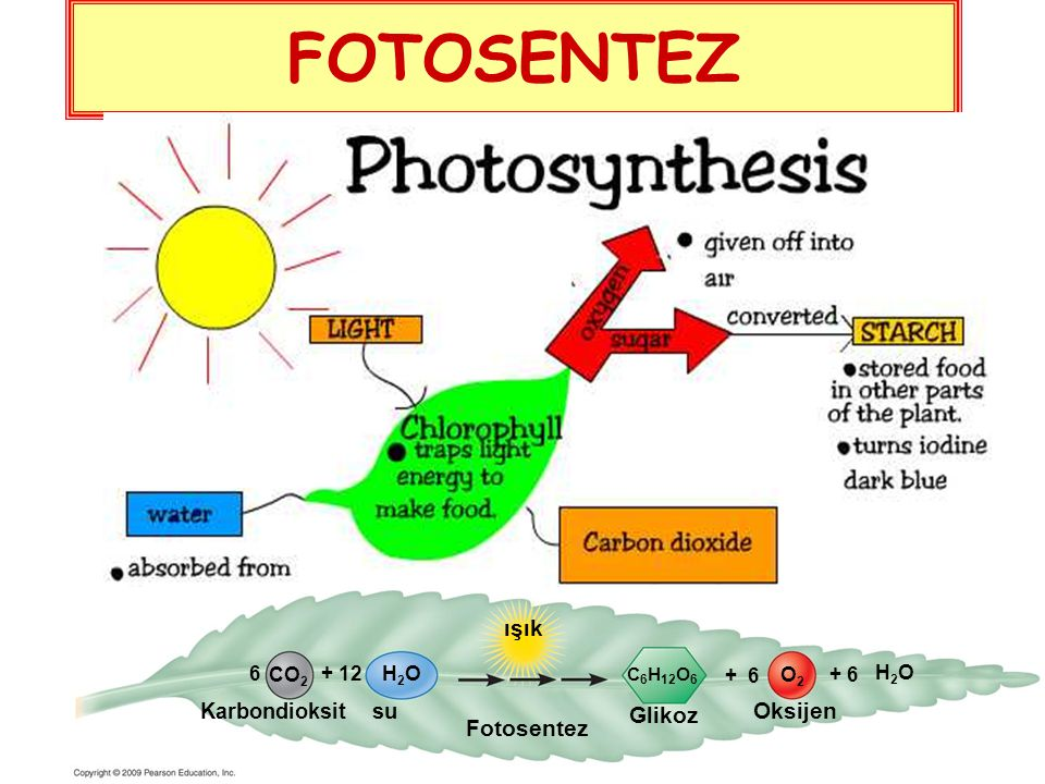 FOTOSENTEZ ışık Oksijen Glikoz Fotosentez Karbondioksit su 6 CO2 + 12