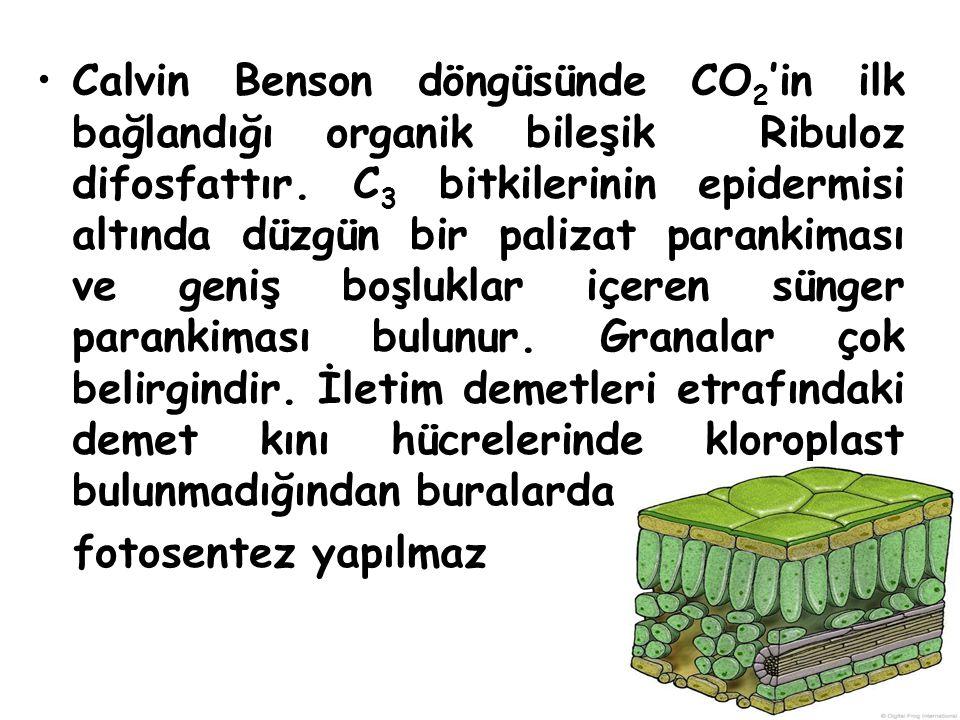 Calvin Benson döngüsünde CO2'in ilk bağlandığı organik bileşik Ribuloz difosfattır. C3 bitkilerinin epidermisi altında düzgün bir palizat parankiması ve geniş boşluklar içeren sünger parankiması bulunur. Granalar çok belirgindir. İletim demetleri etrafındaki demet kını hücrelerinde kloroplast bulunmadığından buralarda