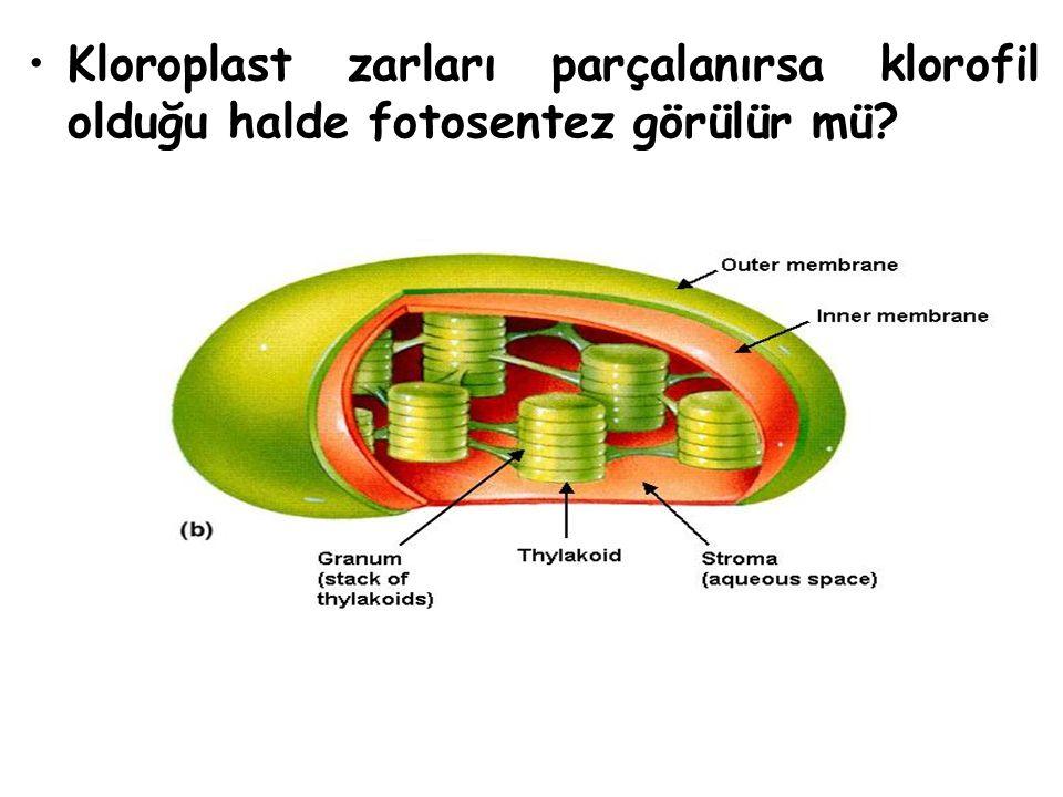 Kloroplast zarları parçalanırsa klorofil olduğu halde fotosentez görülür mü